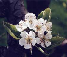 Bouquet de fleurs de pommier